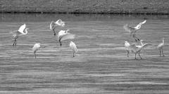 西宁市北川河湿地迎来上百只大白