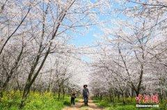 日媒:日本东京都中心樱花开放 到盛开还有一周至