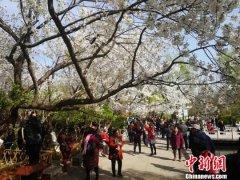 济南五龙潭樱花节开幕 将一直持续到4月7日