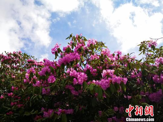 每年3月至7月,西藏勒布沟杜鹃花绽放。(资料图) 江飞波 摄