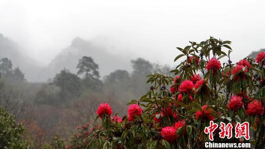 西藏仓央嘉措故里杜鹃花开进入旅游季