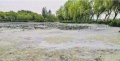 武汉东西湖金银湖湿地公园柳絮如