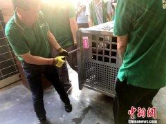 """武汉动物园迎来大熊猫""""姐妹花"""""""