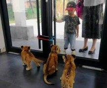平顶山动物园三胞胎小狮子首次与