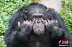 黑猩猩集体看电影 研究人员:建立亲密情感联系
