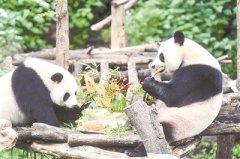 南京红山森林动物园大熊猫双胞胎