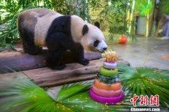 大熊猫兄弟在海南迎来六周岁生日